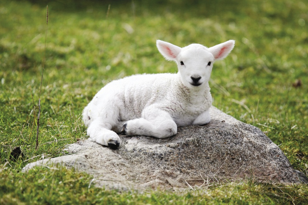 lamb-on-rock
