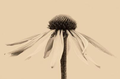 dying-flower