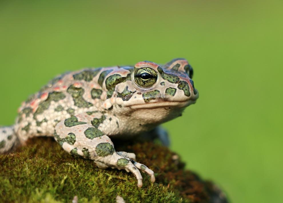 frog-toad-moss-camo-tsarevna-1539992