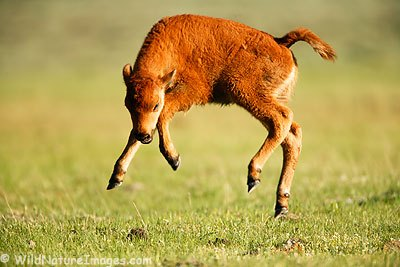 frolic-calf