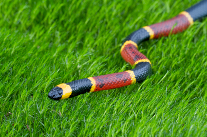 eastern-coral-snake_000012573759